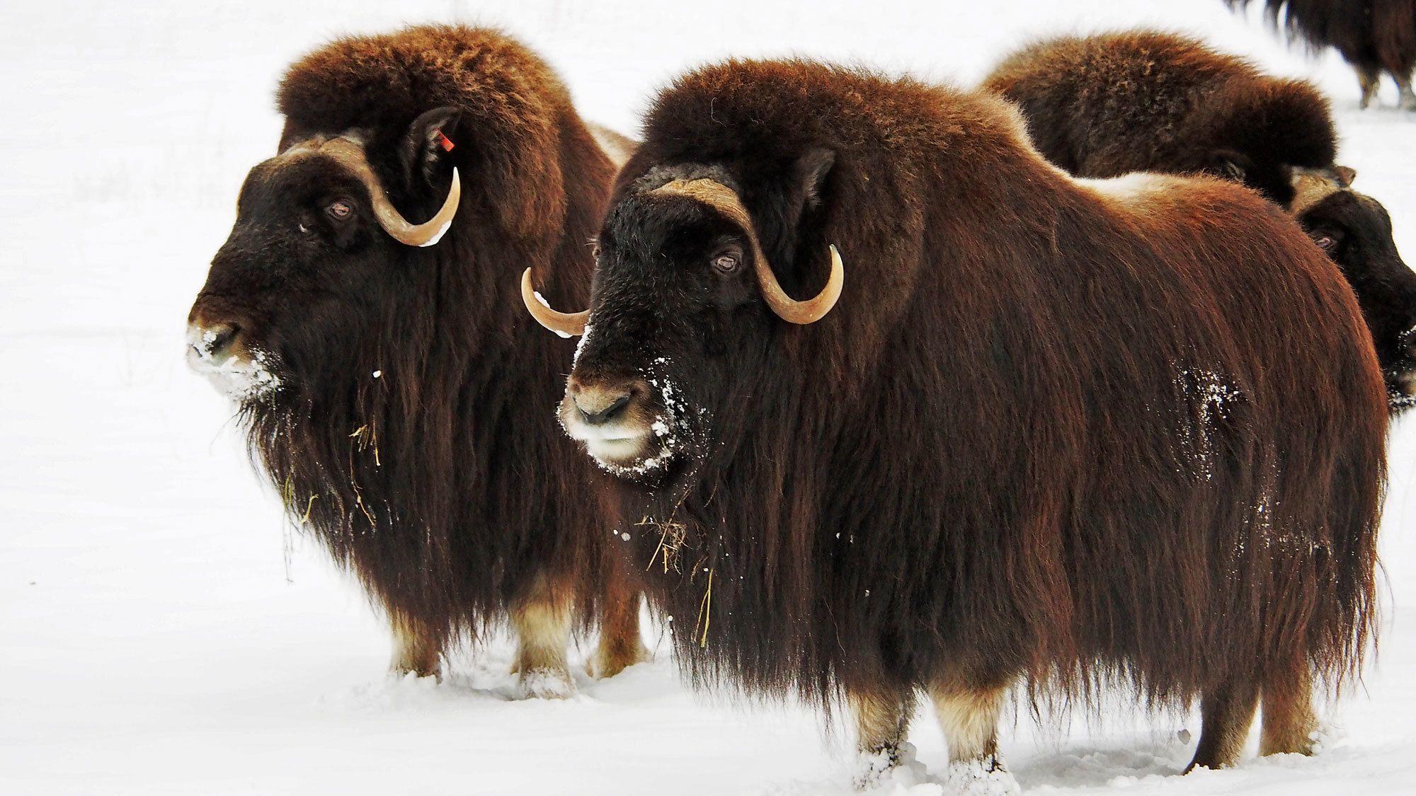 yaks in snowy landscape