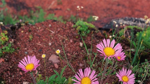 flowers blooming by red sand in Canada