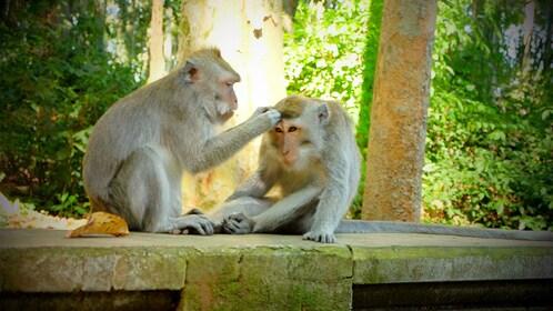 Two monkeys in Bali
