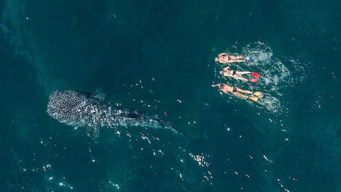 Aerial view of Snorkelers next to Whale shark