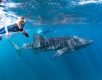Ningaloo Whale Shark Swim on a Sailing Catamaran