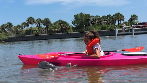 Manatee next to kayaker