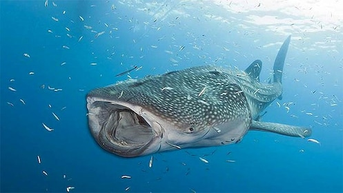 Whale shark in Cancun, Mexico