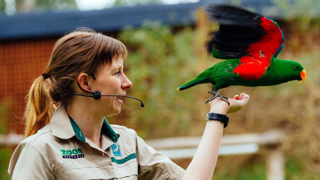 Animal handler with colorful bird at Healesville Sanctuary