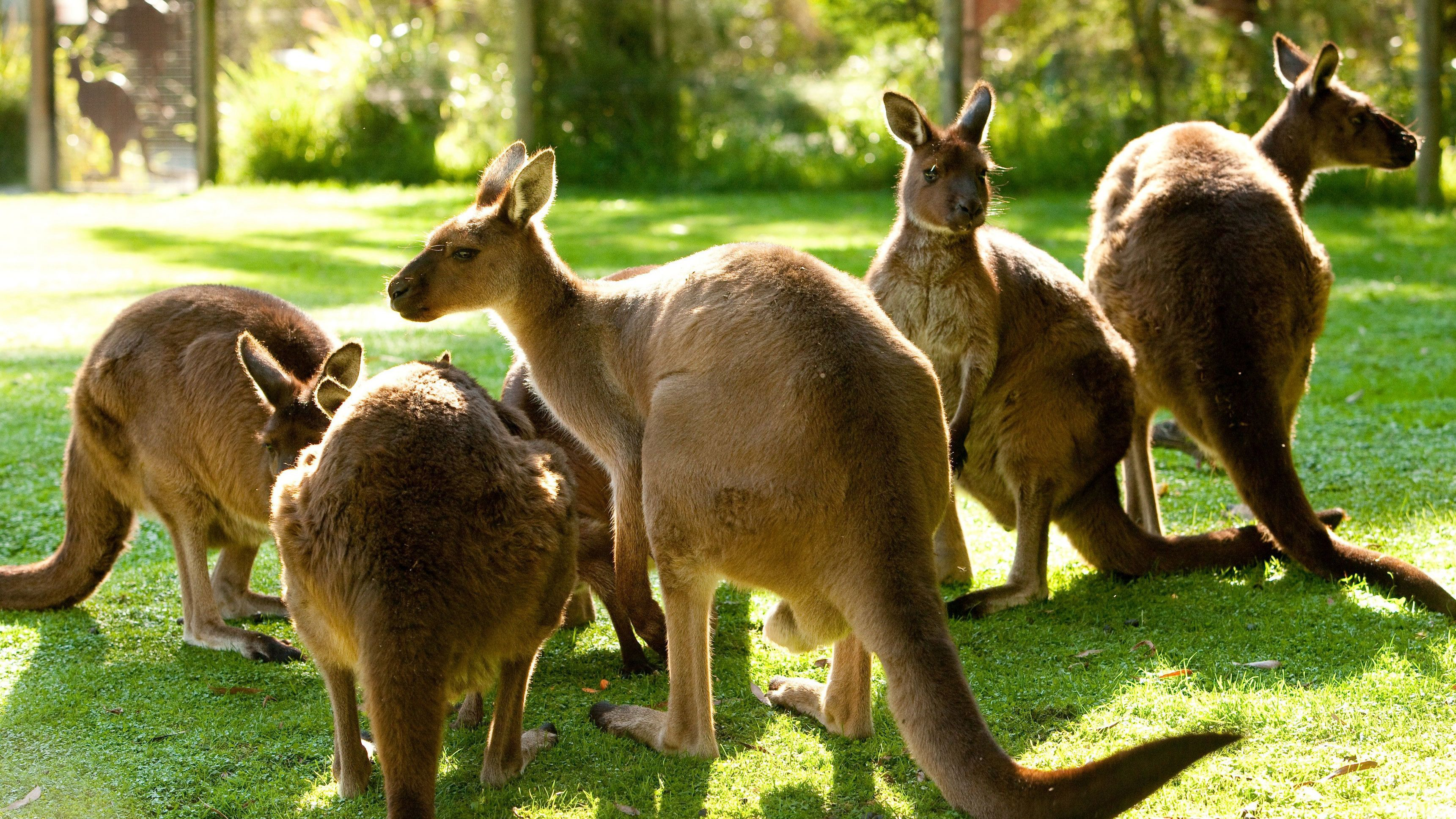 Group of kangaroos at Healesville Sanctuary
