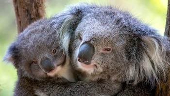 Healesville Sanctuary-, Puffing Billy- en pinguïnparadetour