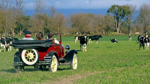 antique car parked near grazing cows in Argentina