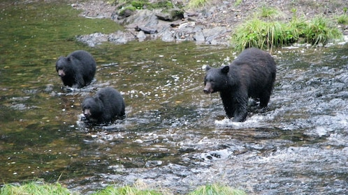 Bear and cubs in a river in Alaska
