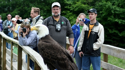 Bald eagle perched on a fence next to tour group in Alaska