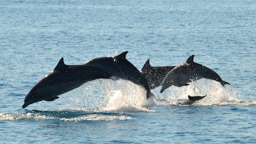 Pod of dolphins leaping through the water in Australia