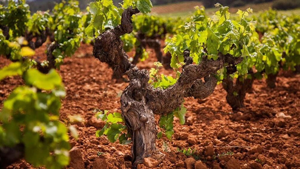 Foto 2 von 4 laden Vineyard
