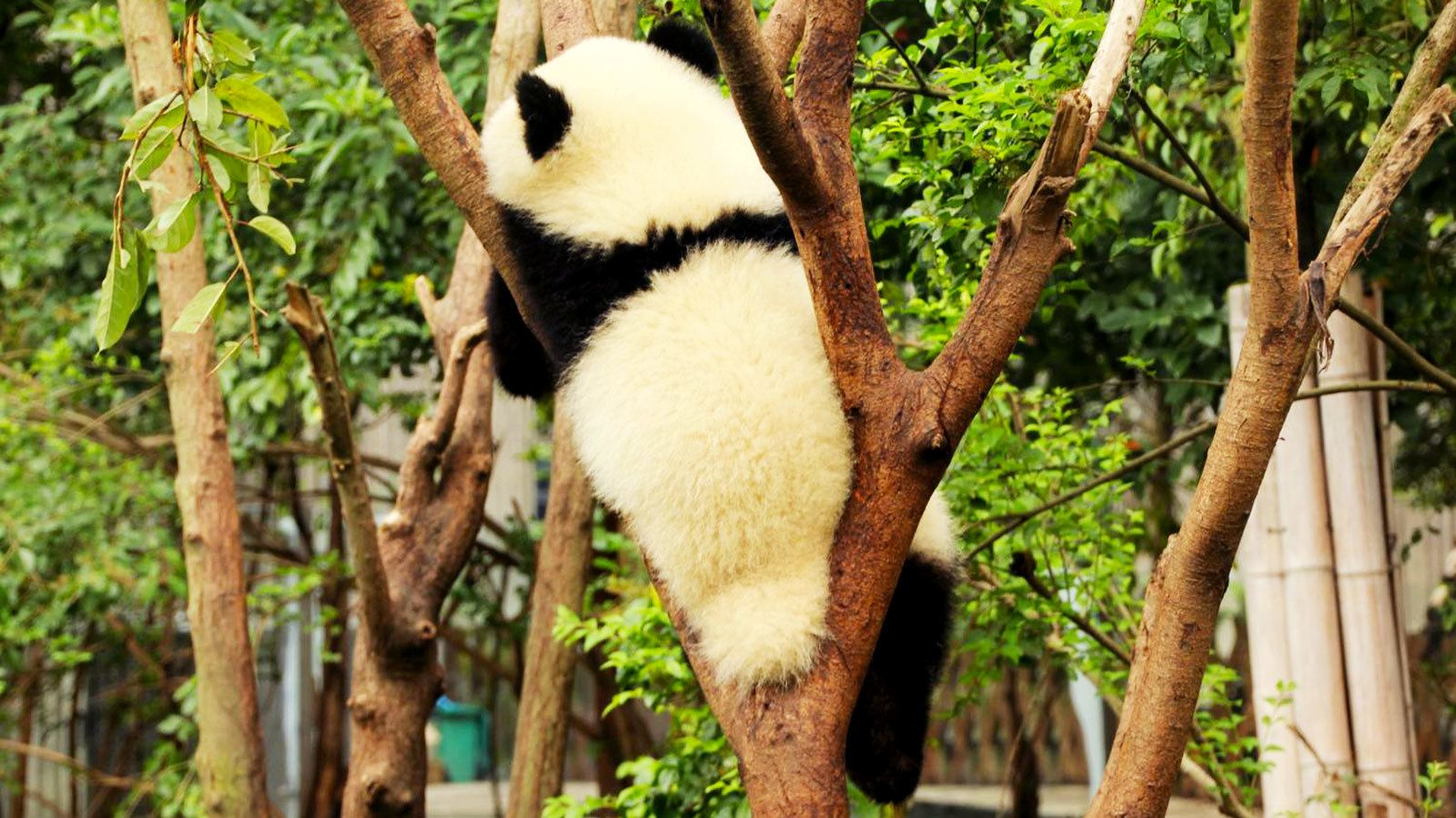 Panda climbing a tree in Chengdu