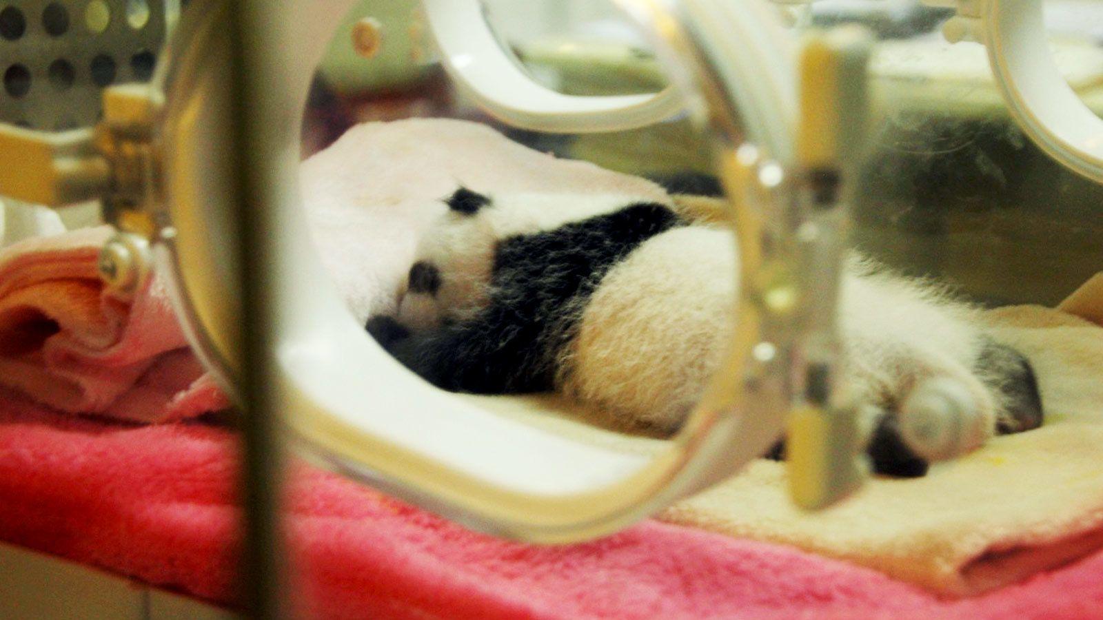 Baby panda in Chengdu