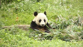 Private Half-Day Tour to Dujiangyan Panda Base
