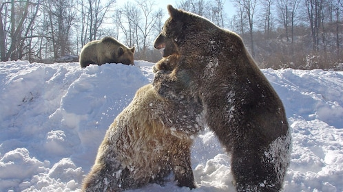 Bears at the Brown Bear Sanctuary in New York