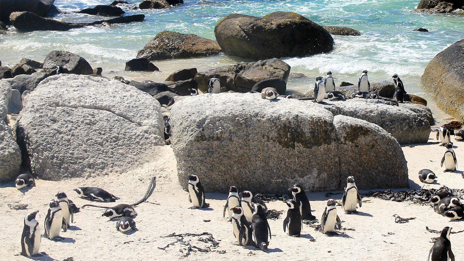 Cute penguins at Cape Peninsula in South Africa