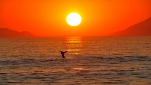 Whale tale above the surface at sunset in Cape Town