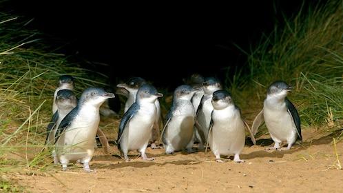 Group of penguins walking in the sand dunes in Australia