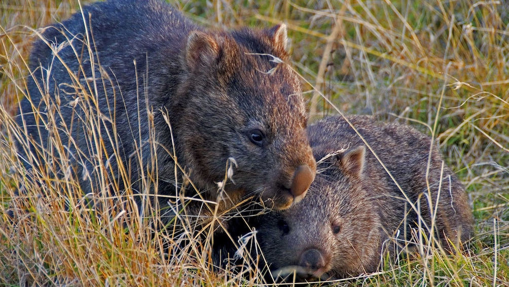 Show item 4 of 5. Wombats in Australia