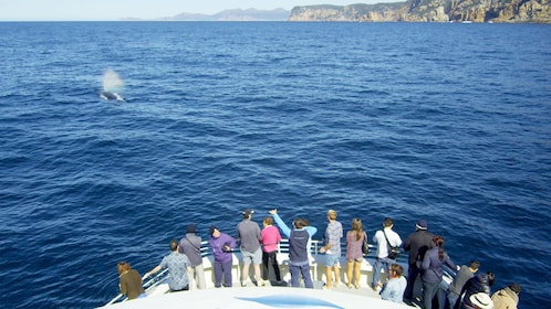 Tour group looking from the boat of a whale jumping out of the water on the Wineglass Bay & Three Capes Tour in Australia
