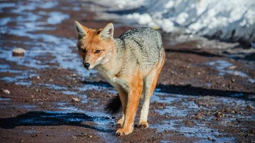 Fox in Santiago