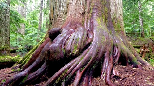 The trunk and roots of a large tree