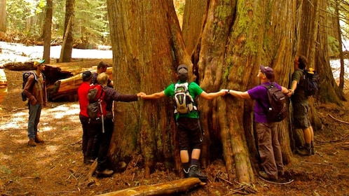 A group of hikers link arms around the base of a huge redwood tree