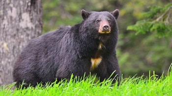 Bear Awareness Tour - Private Guided