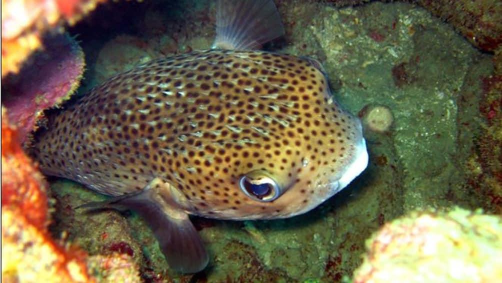 Pufferfish hide amongst coral in Trinidad