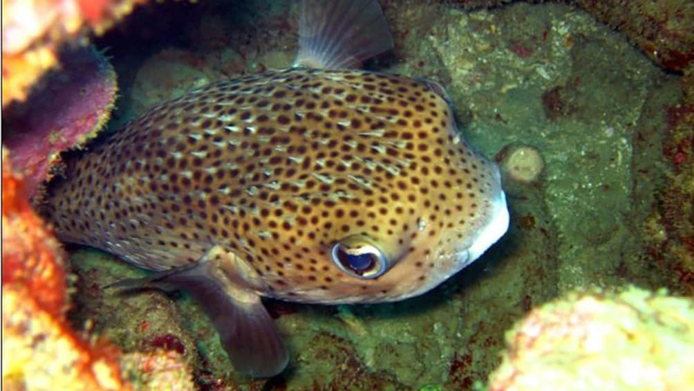 Show item 1 of 5. pufferfish in hiding near the reef in Trinidad and Tobago