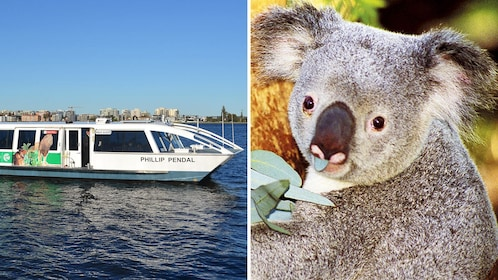 Combo image of tour boat and koala in Perth