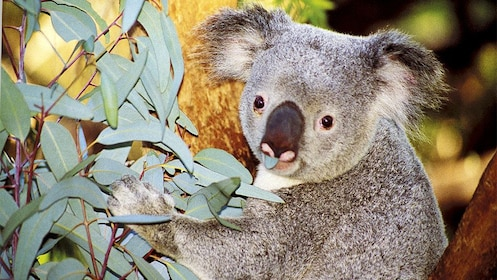Koala on the Zoo and Cruise Package in Perth, WA, Australia