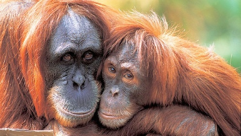 Two orangutans hugging each other on the Zoo and Cruise tour in Perth, WA, Australia