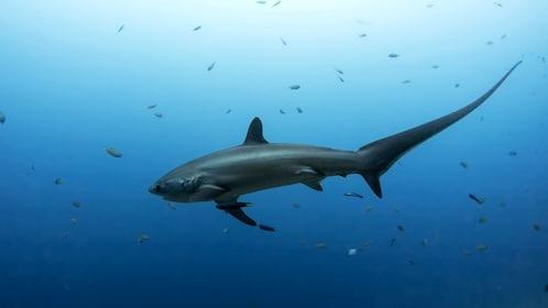Thrasher shark swimming around Cebu Island