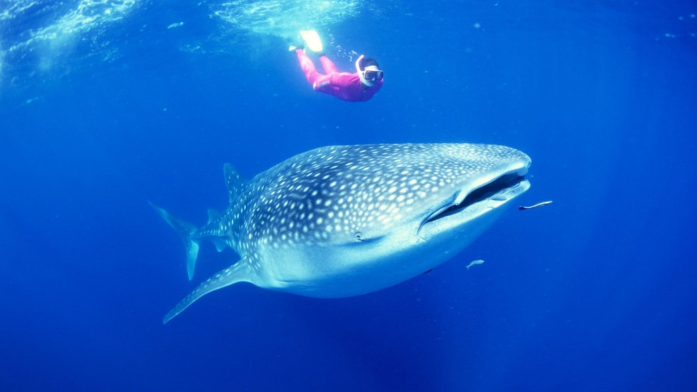 Show item 4 of 5. Snorkeler swimming alongside whale shark in Manila