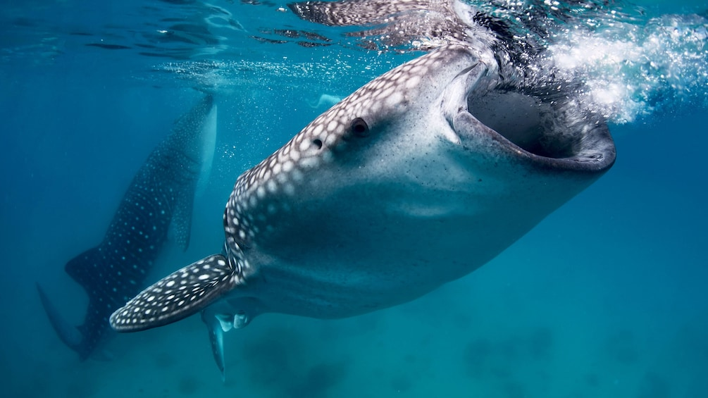 Show item 1 of 5. Whale shark with mouth open feeding with second whale shark in background in Manila