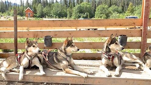 Yukon Dog Mushing Experience in Alaska
