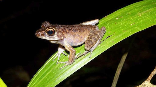Frog on a leaf at night in Kubah National Park
