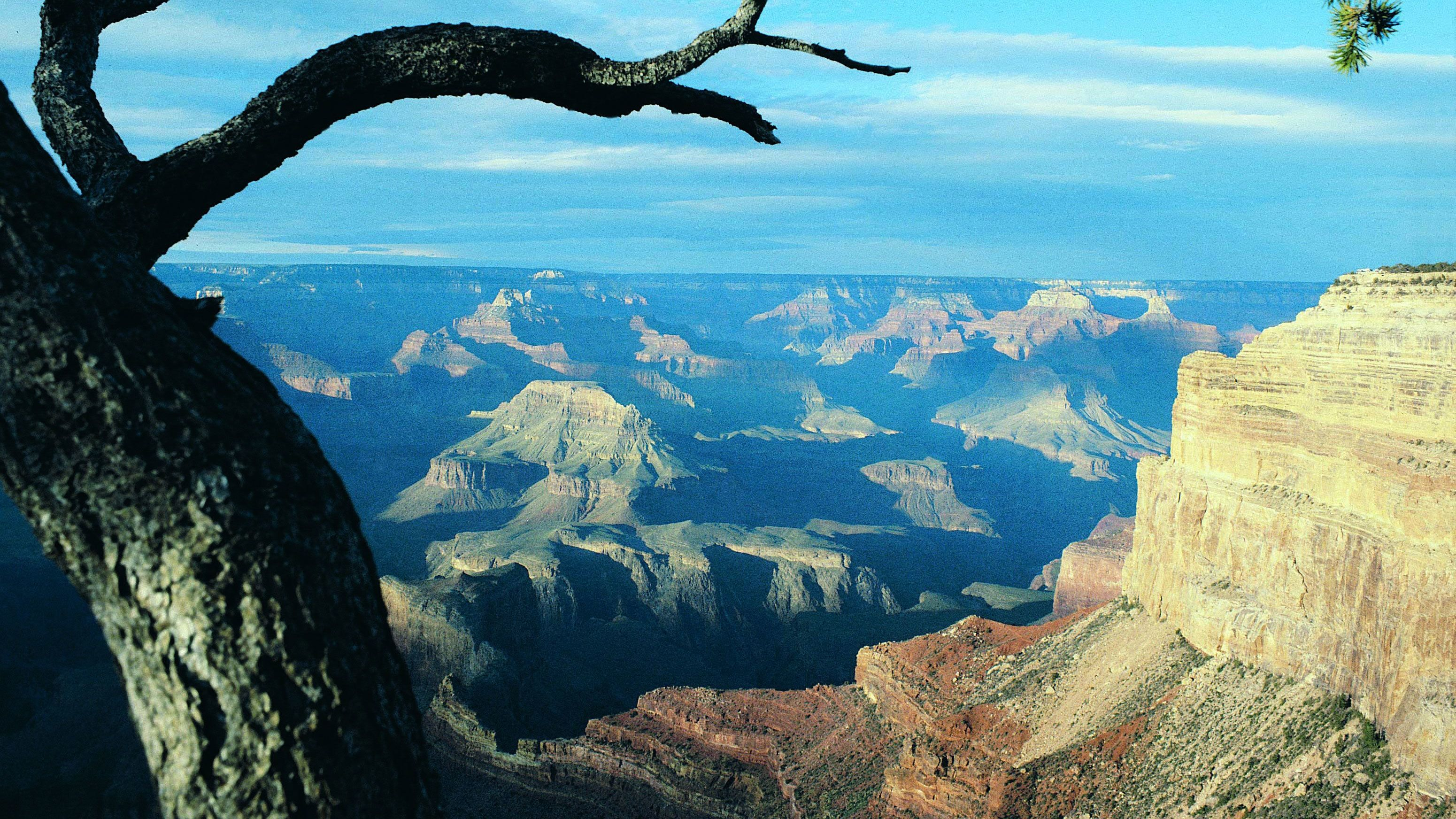 Tree on the edge of the Grand Canyon