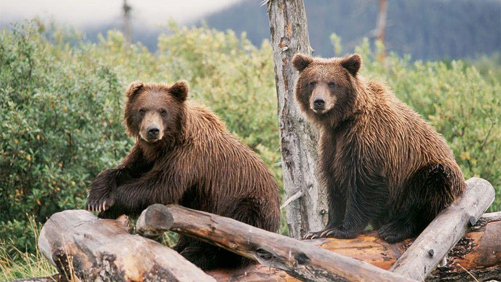 Two brown bears in Alaska