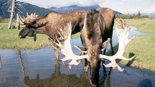 Moose in Seward Alaska