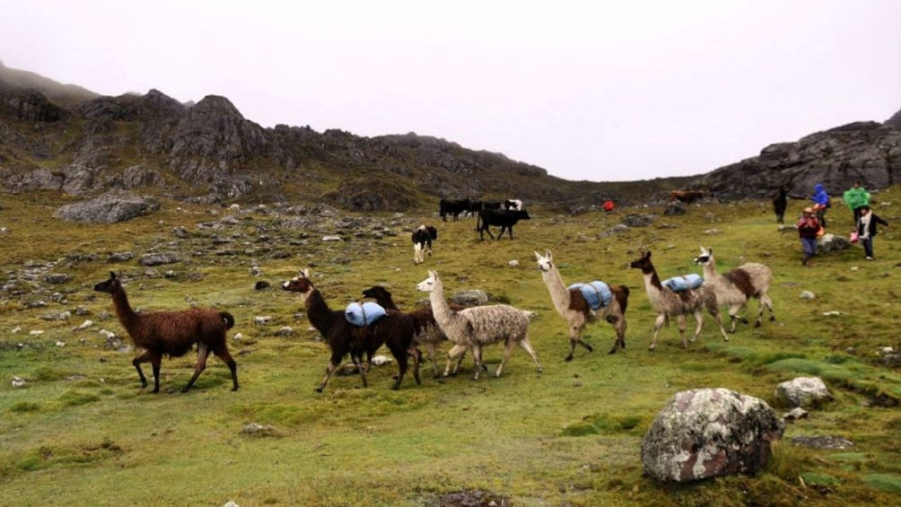 Show item 2 of 5. Herd of llamas on Rainbow Mountain in Lima