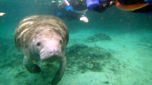 Manatee with swimmers