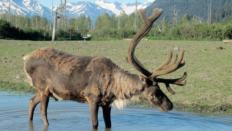 Moose in Anchorage, AK