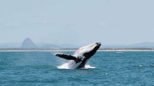 Humpback Whale in the Gold Coast