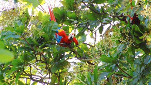 View of some parrots at Carara National Park in Costa Rica