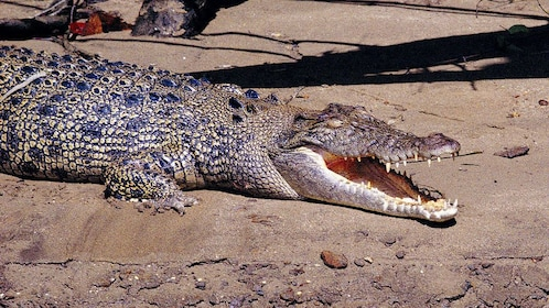 Crocodile on the sand in Cairns