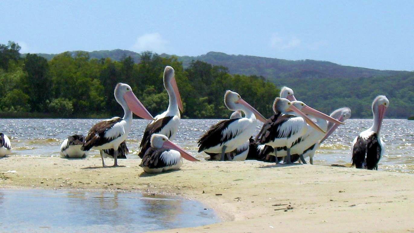 Pelicans on a sandbank in Australia
