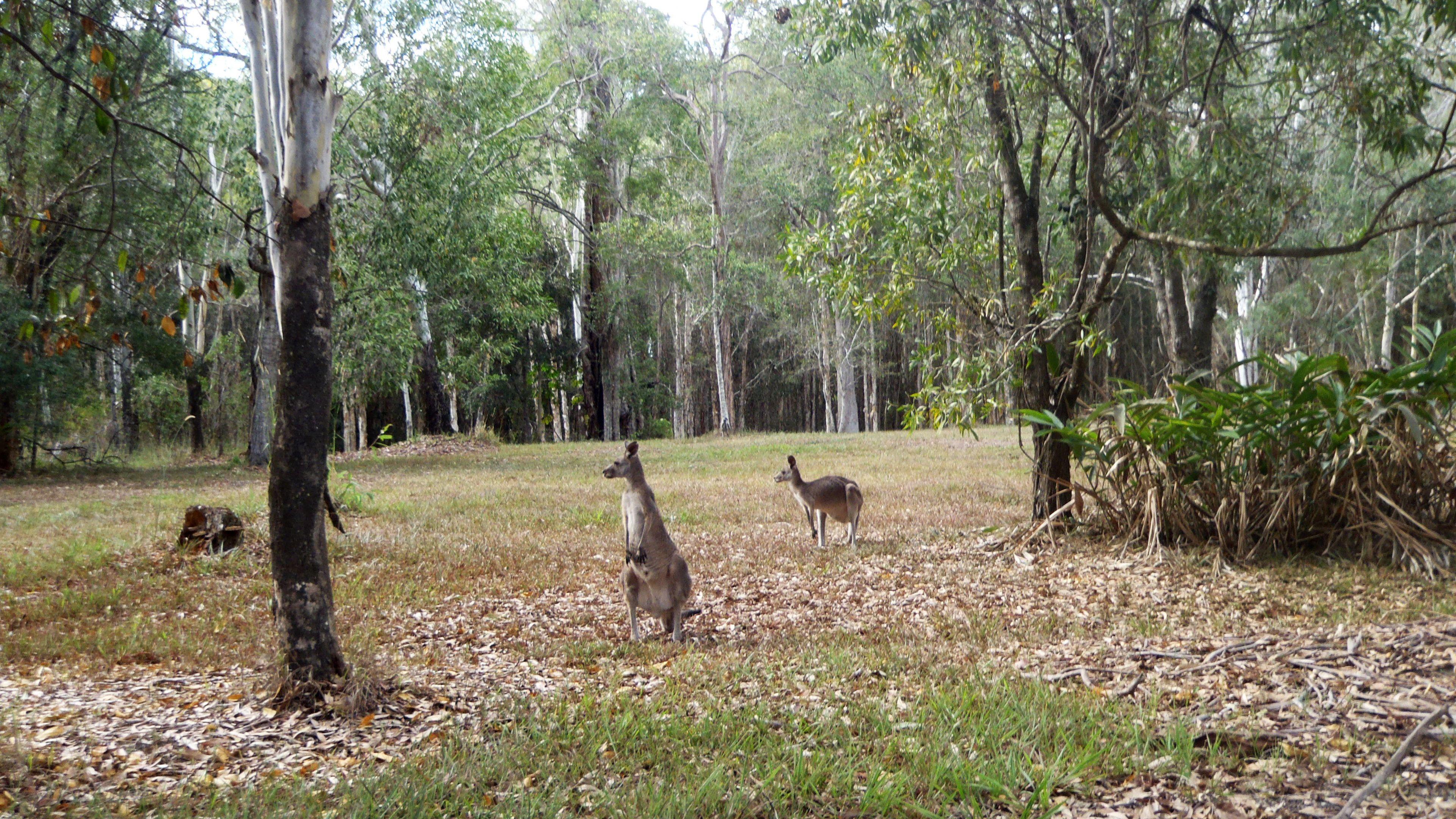 Kangaroos in a meadow in Australia