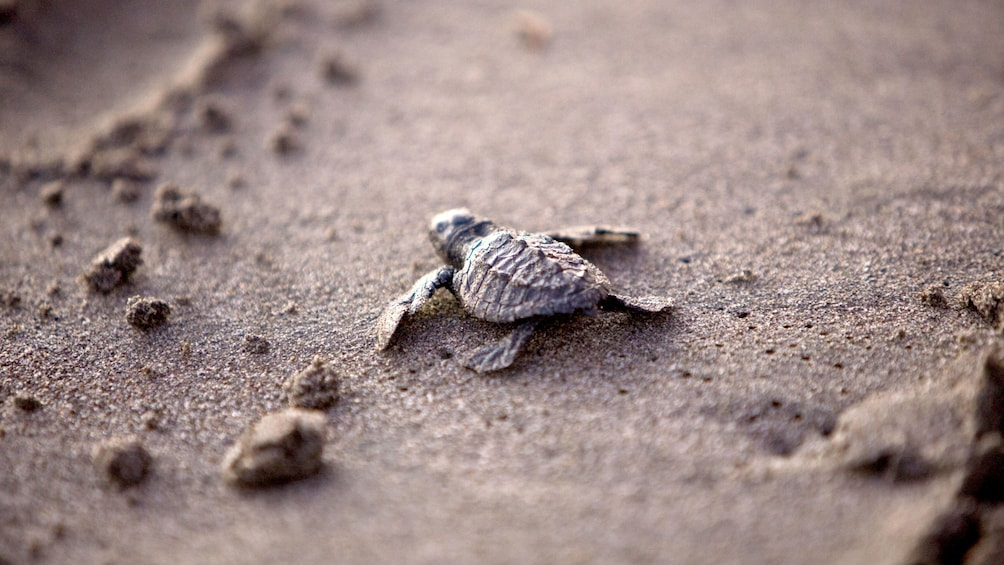 Cargar foto 1 de 4. Baby turtle crawling on the sand in Mexico